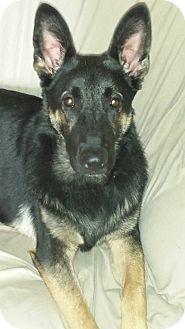 German Shepherd Dog Puppy for adoption in Waterbury, Connecticut - Trigger
