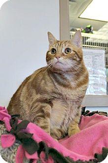 Domestic Shorthair Cat for adoption in Chesapeake, Virginia - Gus