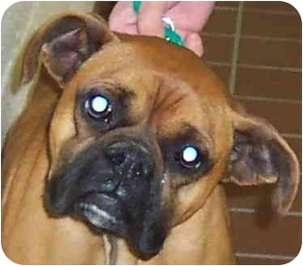 Boxer Dog for adoption in W. Columbia, South Carolina - Roxie