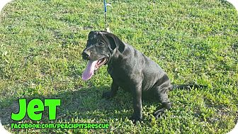 American Pit Bull Terrier/Labrador Retriever Mix Puppy for adoption in Weatherford, Texas - Jet