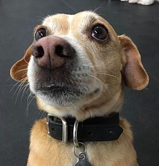 Dachshund/Corgi Mix Dog for adoption in Burbank, California - Adorable Jackson