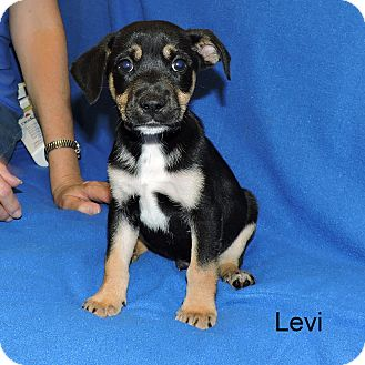 Wirehaired Fox Terrier Mix Puppy for adoption in Slidell, Louisiana - Levi