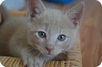 Domestic Shorthair Kitten for adoption in Mission Viejo, California - Gino