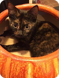 Domestic Shorthair Cat for adoption in Atlanta, Georgia - Claudette 161795