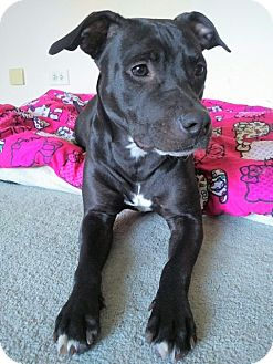 American Pit Bull Terrier/American Staffordshire Terrier Mix Dog for adoption in Lowell, Indiana - Oreo