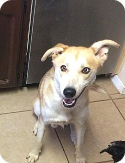 Husky Mix Dog for adoption in Middlebury, Connecticut - Scar