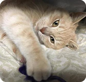 Domestic Shorthair Kitten for adoption in Voorhees, New Jersey - Simon