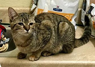Domestic Shorthair Cat for adoption in Elkins, West Virginia - Galena