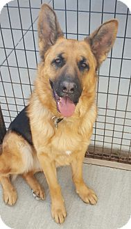 German Shepherd Dog Dog for adoption in Frazier Park, California - Bruno