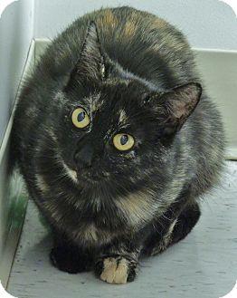 Domestic Shorthair Cat for adoption in Chambersburg, Pennsylvania - Helenore