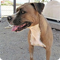 Adopt A Pet :: Ziggy - San Tan Valley, AZ