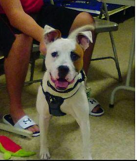 American Bulldog Mix Puppy for adoption in Mt. Clemens, Michigan - Rascal