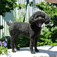 Poodle (Toy or Tea Cup) Mix Dog for adoption in Camano Island, Washington - Gizmo