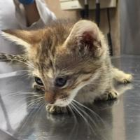 Domestic Shorthair/Domestic Shorthair Mix Cat for adoption in Waldorf, Maryland - April