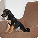 Adopt A Pet :: Huckleberry