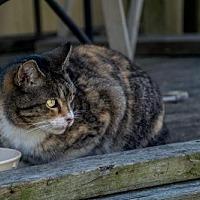 Adopt A Pet :: Calli - Sumter, SC