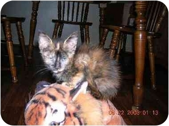 Domestic Mediumhair Kitten for adoption in Union, South Carolina - Amber