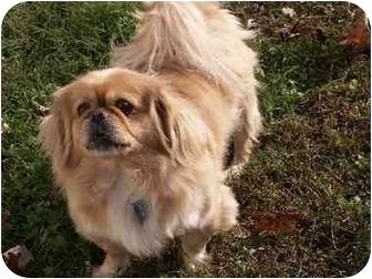 Pekingese Dog for adoption in Virginia Beach, Virginia - Ralph