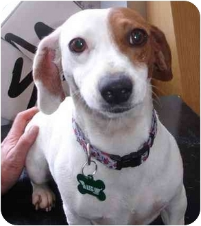Dachshund/Jack Russell Terrier Mix Dog for adoption in petaluma, California - Maysie