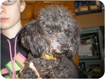 Miniature Poodle Dog for adoption in Broadway, New Jersey - Spanky