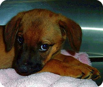 Beagle/Shepherd (Unknown Type) Mix Puppy for adoption in Olive Branch, Mississippi - Carlee