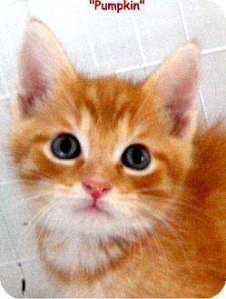 Domestic Shorthair Kitten for adoption in Key Largo, Florida - Pumpkin