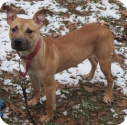 Labrador Retriever/Hound (Unknown Type) Mix Dog for adoption in Bloomfield, Connecticut - Times Square