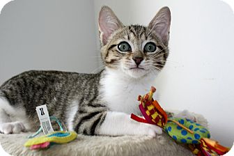 Domestic Shorthair Kitten for adoption in Vero Beach, Florida - Colby