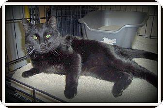 Domestic Shorthair Cat for adoption in Medford, Wisconsin - MAGIC