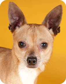 Chihuahua/Miniature Pinscher Mix Dog for adoption in Chicago, Illinois - Salsa