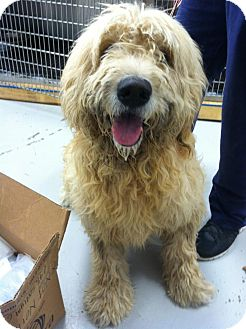 Goldendoodle/Poodle (Standard) Mix Dog for adoption in Cincinnati, Ohio - Cyrus