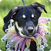 Adopt A Pet :: Bell - Phoenix, AZ