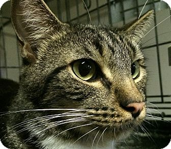 Domestic Shorthair Cat for adoption in Winchester, California - Hercules