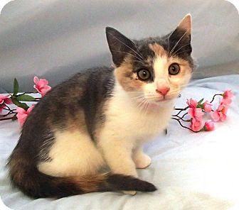 Domestic Shorthair Kitten for adoption in Christiansburg, Virginia - Salsa