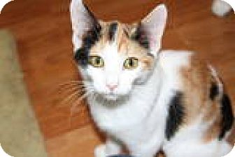 Calico Cat for adoption in Vancouver, Washington - Ellee