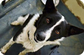 Border Collie Mix Dog for adoption in Fort Smith, Arkansas - BOZO