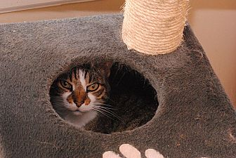 American Shorthair Cat for adoption in Middletown, New York - Dipps