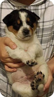 Australian Cattle Dog Mix Puppy for adoption in PO Box 7946, North Carolina - Zero
