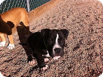 Boxer/Pit Bull Terrier Mix Puppy for adoption in Colorado Springs, Colorado - Oreo
