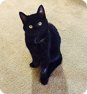 Domestic Shorthair Cat for adoption in Modesto, California - Thomas