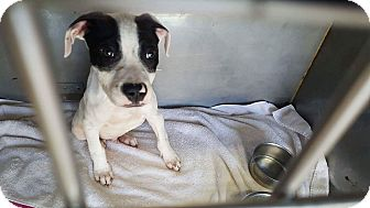 American Bulldog Mix Puppy for adoption in Jacksonville, Florida - Meelo