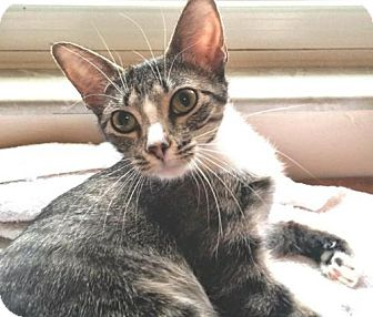 Domestic Shorthair Cat for adoption in Fenton, Missouri - CLARE