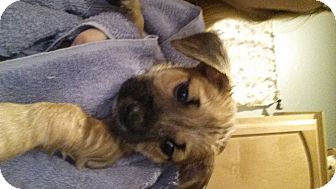 Schnauzer (Standard)/Pug Mix Puppy for adoption in Mesa, Arizona - Walther