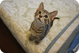 Domestic Shorthair Kitten for adoption in St. Louis, Missouri - Hazlitt
