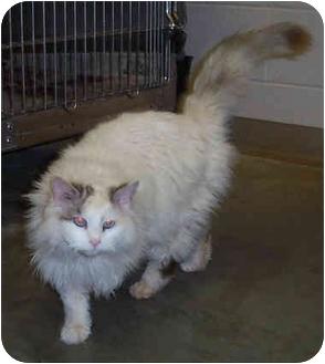 Turkish Van Cat for adoption in Culpeper, Virginia - Callie