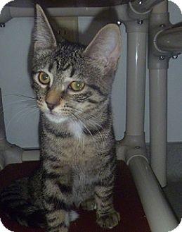 Domestic Shorthair Kitten for adoption in Hamburg, New York - Daisy