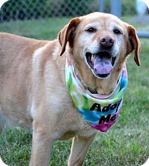 Labrador Retriever/Beagle Mix Dog for adoption in Indiana, Pennsylvania - ZOE