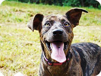 Catahoula Leopard Dog/Labrador Retriever Mix Dog for adoption in Waynesboro, Tennessee - Marty