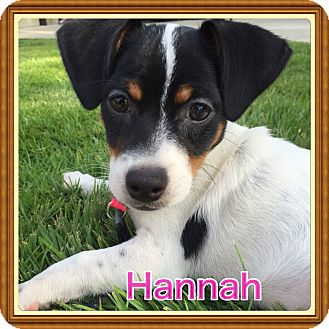 Terrier (Unknown Type, Small) Mix Puppy for adoption in Brattleboro, Vermont - Hannah