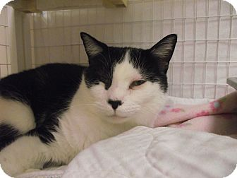 Domestic Shorthair Cat for adoption in Chambersburg, Pennsylvania - Milton